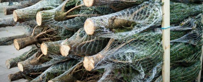 Weihnachtsbäume im Verkauf | © minzpeter | stock.adobe